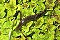 Slug (BG) (8648203568).jpg
