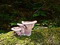 Slug hiding behind mushrooms along Bradley Brook at White River National Fish Hatchery. (8574372583).jpg