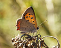 Small Copper (15097734276).jpg
