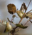 Smicrornis brevirostris -Victoria, Australia -two-8.jpg