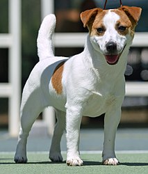 Smooth Jack Russell Terrier.jpg