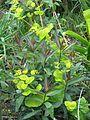Smyrnium perfoliatum and Phlox Blue Paradise foliage (8866591884).jpg