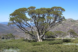 Snow Gum on the Dead Horse Gap Walk.jpg