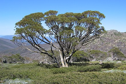 Snow Gum at tree line along Dead Horse Gap Walk, Kosciuszko National Park. Snow Gum on the Dead Horse Gap Walk.jpg