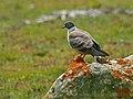Snow Pigeon (Columba leuconota) (19589090133).jpg