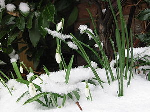Imbolc - Snowdrops in the snow