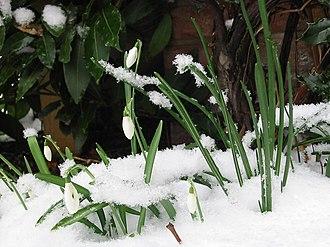 Imbolc - Snowdrops in the snow