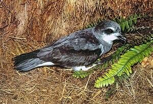 Soft-plumaged petrel - On land