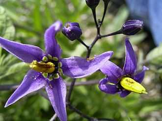 Solanum dulcamara - Image: Solanum Dulcamara bloem sm