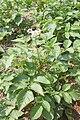Solanum melongena 3.JPG