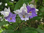 Solanum wrightii, the Brazilian Potato Creeper (11396983966).jpg