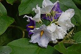 Solanum wrightii02