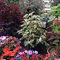 Solenostemon scutellarioides cultivars public domain IMG 4834.jpg