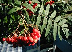 Sorbus-aucuparia-berries.JPG