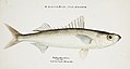 Southern Pacific fishes illustrations by F.E. Clarke 97.jpg