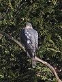 Sparrowhawk 3 (4408467887).jpg