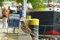 Spatz (Historischen Hafen Berlin) 1034-916-(118).jpg
