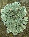 Speckled Greenshield (982854348).jpg