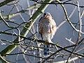 Sperber Accipiter nisus-9973-2.jpg