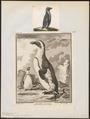 Spheniscus demersus - 1700-1880 - Print - Iconographia Zoologica - Special Collections University of Amsterdam - UBA01 IZ17800211.tif