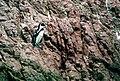 Spheniscus humboldti, Islas Ballestas 13.jpg