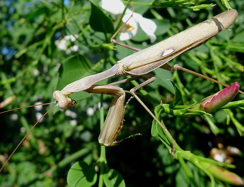File:Sphodromantis viridis - Flickr - gailhampshire.jpg