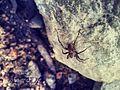 Spider on the rock.jpg