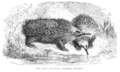 Spiny Ant-Eater (Echidna hystrix) 1853.png