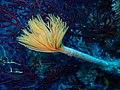 Spiral tube-worm.jpg