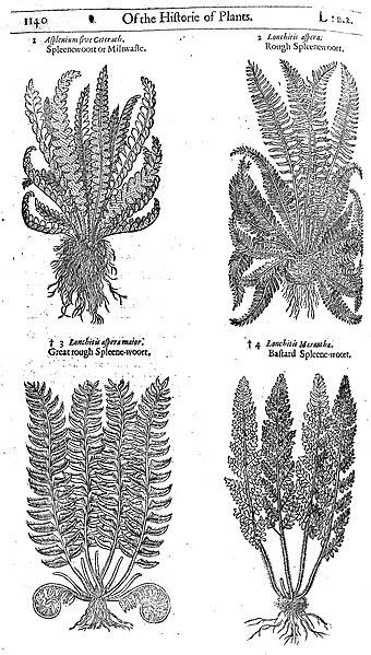 File:Spleene-wort, John Gerard, 1633 Wellcome L0007144.jpg