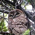 Spotted Owl (18534793896).jpg