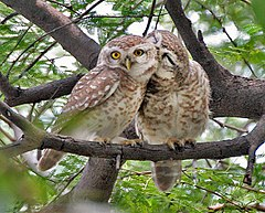 240px spotted owlet (athene brama)  pair in foreplay at bharatpur i img 5472