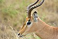 Springbok at Kruger National Park, Limpopo, South Africa (20356082658).jpg