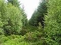 Spruce Trees, Coulalt Wood - geograph.org.uk - 904904.jpg