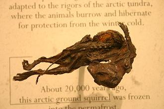 Ground squirrel - 20,000-year-old Arctic ground squirrel mummy