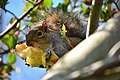 Squirrel in tree eating an apple near the Ceramic and Metal Arts Building, University of Washington - 04.jpg