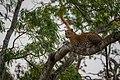 Sri Lankan leopard (Panthera pardus kotiya) 02.jpg
