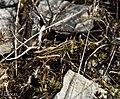 Sténobothre bourdonneur (Stenobothrus nigromaculatus nigromaculatus).jpg