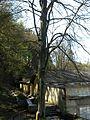 Starý strom v Zámeckém parku Kyselka 5.jpg