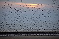 Starlings coming in to roost 3 (4439479104).jpg