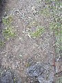 Starr-040514-0116-Cynodon dactylon-after hand weeding-Puhilele HNP-Maui (24075630603).jpg
