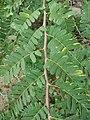 Starr-080608-7474-Tamarindus indica-leaves-Citrus grove Sand Island-Midway Atoll (24798368782).jpg