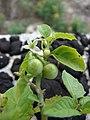 Starr-080609-8053-Solanum americanum-green fruit-Radar hill field Sand Island-Midway Atoll (24550739079).jpg