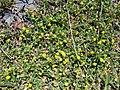 Starr-090504-7260-Medicago lupulina-flowering habit-Science City-Maui (24327356773).jpg