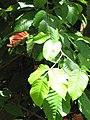 Starr-090617-0873-Sandoricum koetjape-leaves-Ulumalu Haiku-Maui (24964917185).jpg