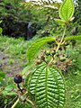 Starr-090702-2043-Clidemia hirta-fruit and leaves-Puaa Kaa Park Hana Hwy-Maui (24341518323).jpg