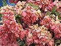 Starr-090713-2623-Mussaenda sp-flowers-Lahaina-Maui (24851453242).jpg