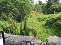Starr-110201-0532-Thunbergia alata-habit in gulch-Keokea-Maui (24447076163).jpg