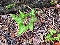 Starr-110307-2114-Ipomoea batatas-leaves-Kula Botanical Garden-Maui (24984299411).jpg