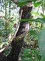 Starr-110330-3826-Strongylodon macrobotrys-twining stem-Garden of Eden Keanae-Maui (25080793935).jpg
